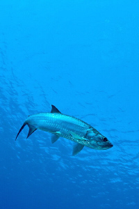 Grand Cayman Tarpon by Paul Colley 